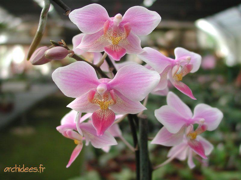 Phalaenopsis 9