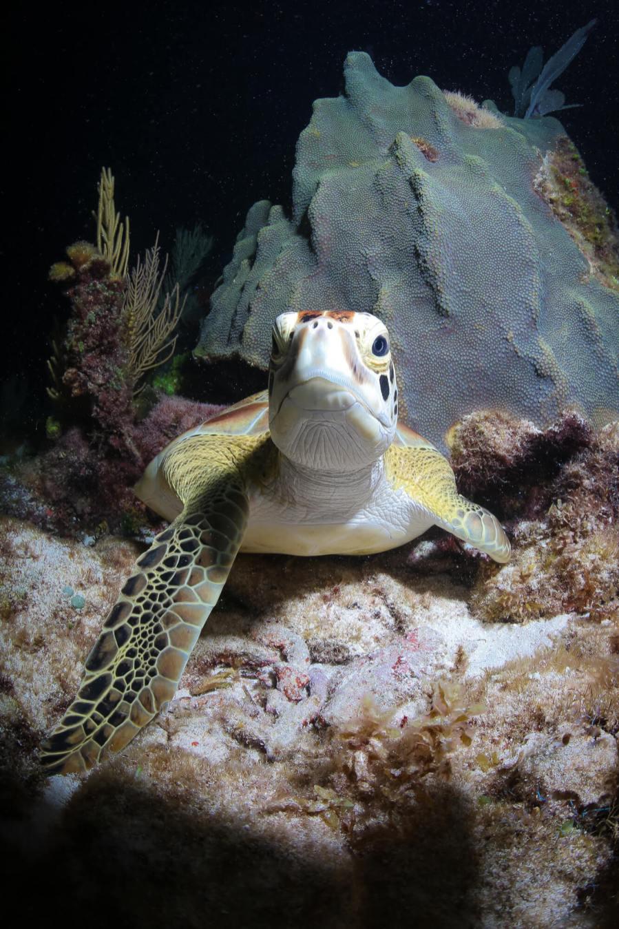 Sea Turtle, Cancun Mexico. Photo credit Tre' Packard 2017.