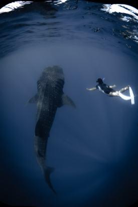 Whale shark, Cancun, Mexico. Photo credit Tre' Packard 2017.