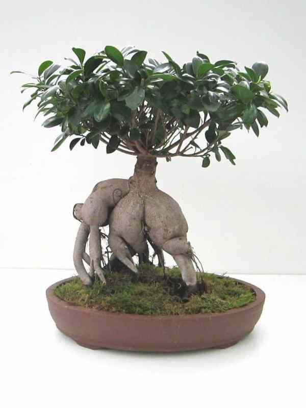 Enviar bonsai ficus