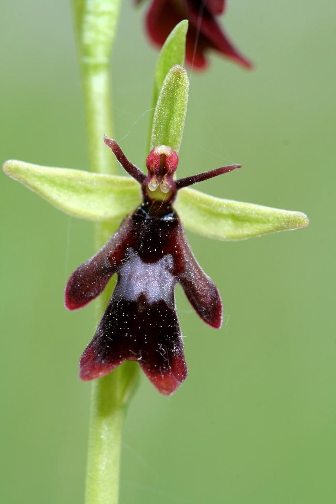 flowersflyorchid
