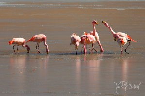 Flamingos on Ice Bolivia