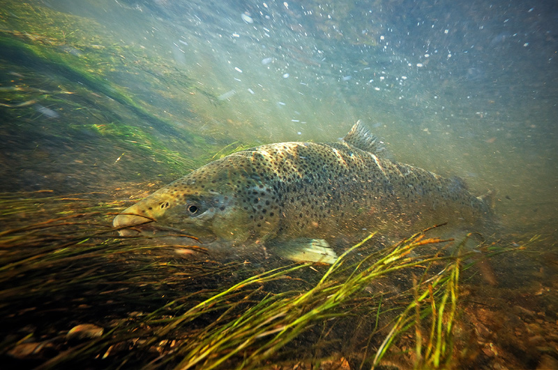 Image result for brown trout underwater