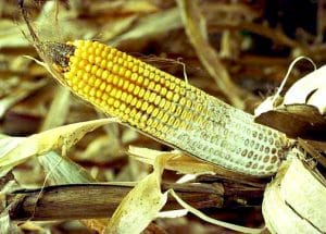 Tips to Producing Food-Grade Corn, part 2 – Disease Identification, Management & Prevention