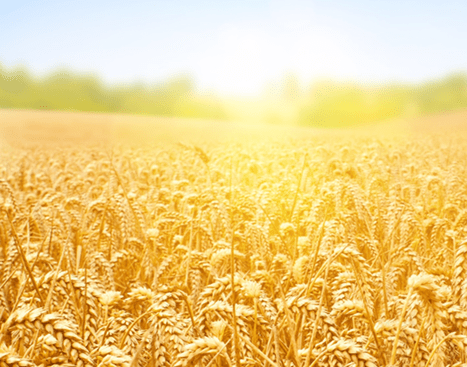 barley fieldhome