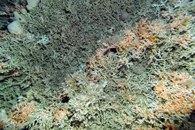 Nuevas Especies de corales
