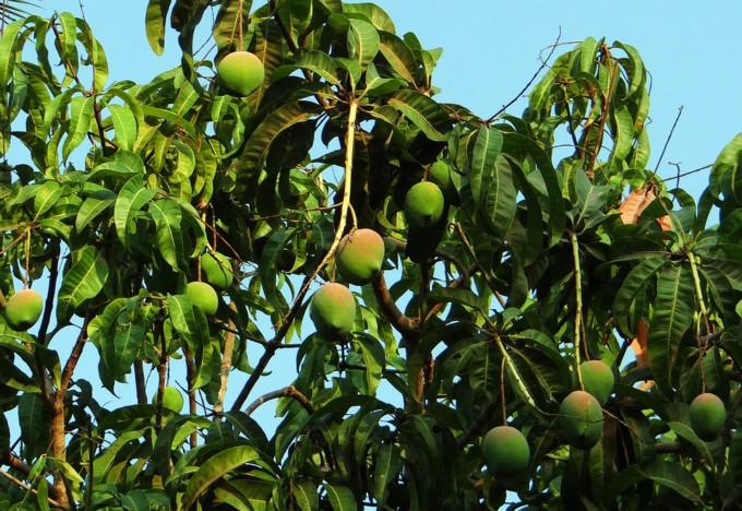 mango-tree-321075_960_720
