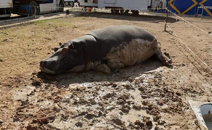 hipopotamo-circo