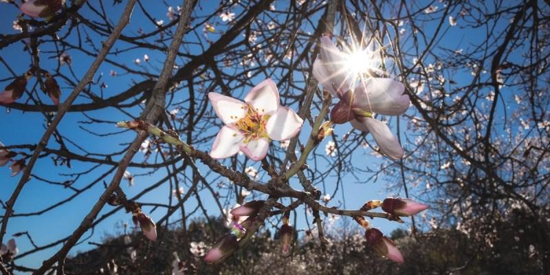 floración del almendro Granada