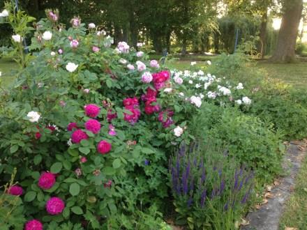 Dans le parc de Grand Bouy, le mixed-border de rosiers anciens et vivaces