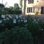 Dans le parc de Grand Bouy, vue depuis la plate-bande de la grande pelouse vers la maison.Roses et sédum