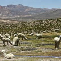 lamas_altiplano