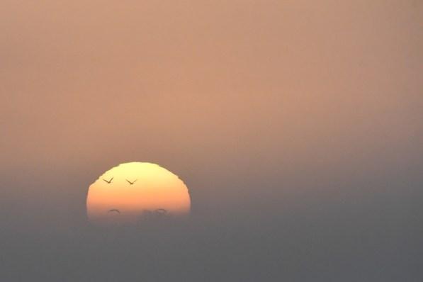 01 Grues cendrées au soleil levant 1