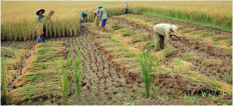 coupeurs de riz 13.13.14