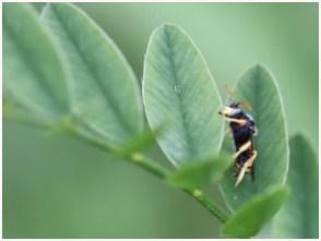 Marie_Odile_Birault_GA_Site_Insectes_Anthidium_001