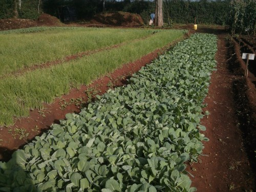 A farm testing TakaTaka's high-quality organic fertilizer. The compost aims to improve soil fertility, a major challenge to Kenya's agriculture.