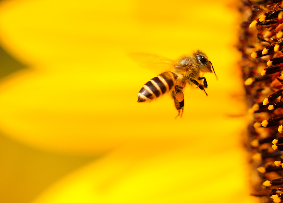 honey bee flying into large yellow sunflower