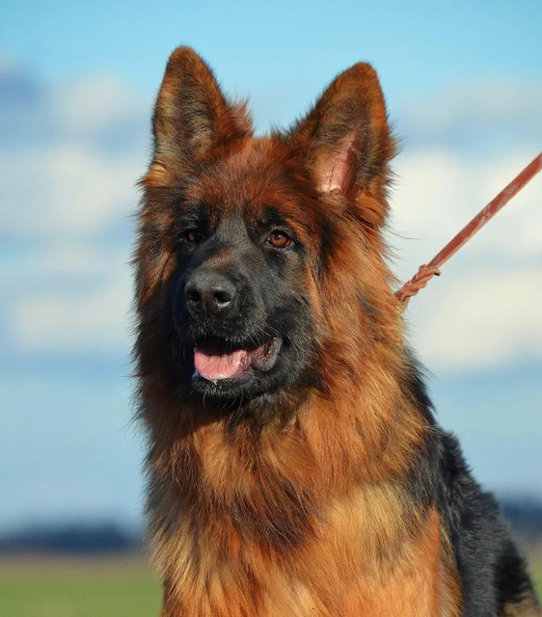 Willas vom Aurelisbrandt is a highly coveted German Shepherd with puppies for sale