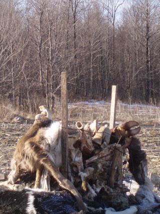 eastern coyote hunting