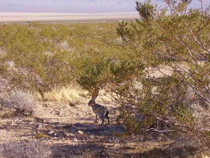hunting jack rabbits