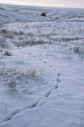 wind coyote hunting