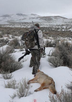 late season coyote