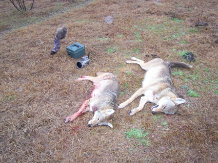 coyote hunting vocalization