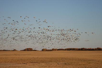 prairie duck goose hunting