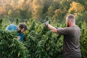 harvesting hemo farm