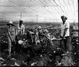 Plaga del tabaco. Moho Azul. San Antonio.<br /><br /><br /><br /> Foto Fernando Lezcano 16/01/1980<br /><br /><br /><br /> Publicada: 24/01/1980