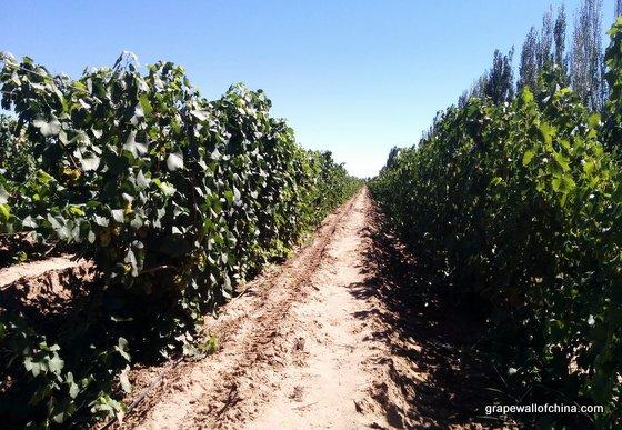 mogao-wuwei-gansu-visit-pinot-noir-vineyards-wang-runping-ma-huiqin-4