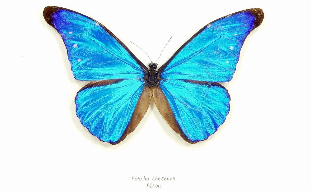 papillon-morpho