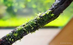 アヌビアスやウィローモスなどの水草を流木・石に活着させよう!