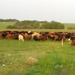 multi-paddock grazing