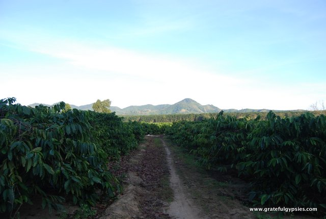 A coffee plantation out in the Vietnamese countryside.