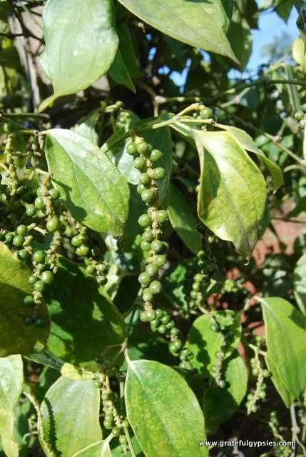 Coffee beans on a roadside farm.