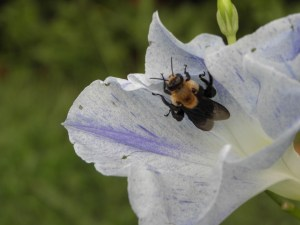 Bee on Morning Glory