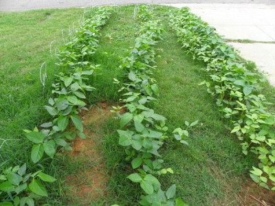Three rows of Purple Hull peas, 20 feet long each, on the east side of the driveway. I have been trimming the grass between rows by hand.