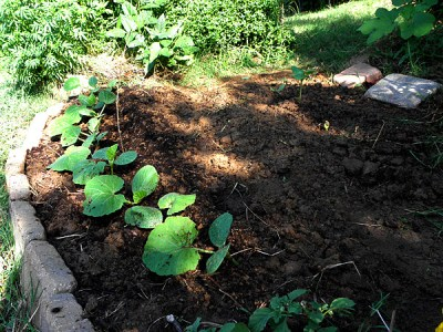 Bush Buttercup squash seedlings one week after transplant.