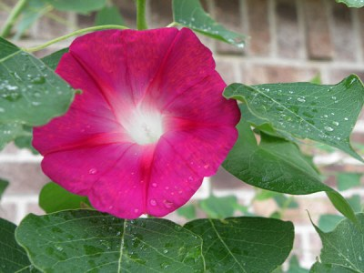 Fuchsia morning glory vine has climbed up a small Chinese tallow tree on the east side of our house.