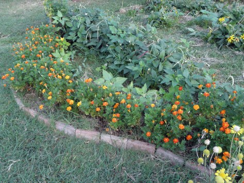 The wildness of the wildflower garden has been balanced out by the addition of marigolds and field peas to row one.