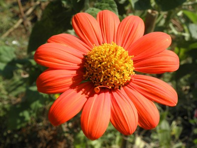 A few Mexican sunflowers are all that remain of row six, which was once a solid thicket of true sunflowers.