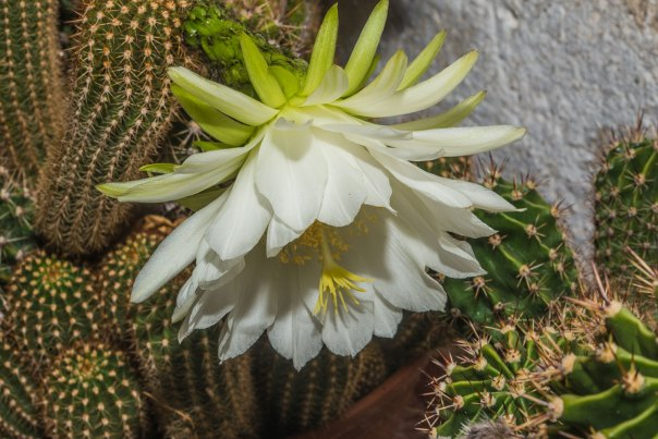 _8464-Kaktus-1
