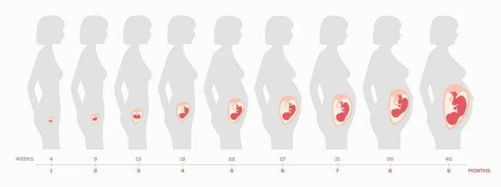 gravid hvor mange uger