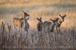 Mule Deer Doe in tall grass.