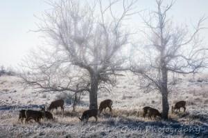 Mule Deer on a Winter Morning