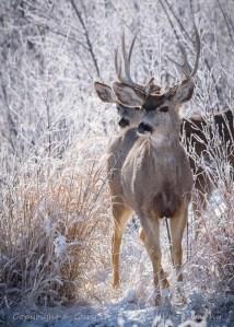 Mule Deer on the move