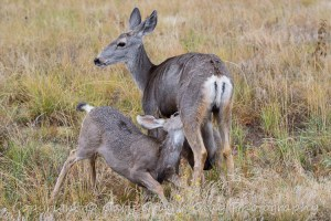 Mule Deer Doe with nursing fawn