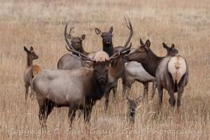 Bull Elk Watching Over His Harem