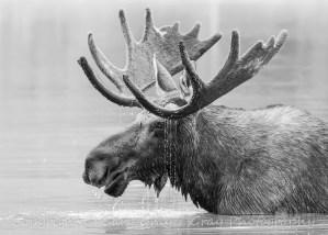 Bull Moose - High Key